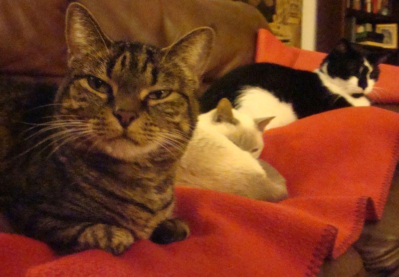 Catsredblanket 008