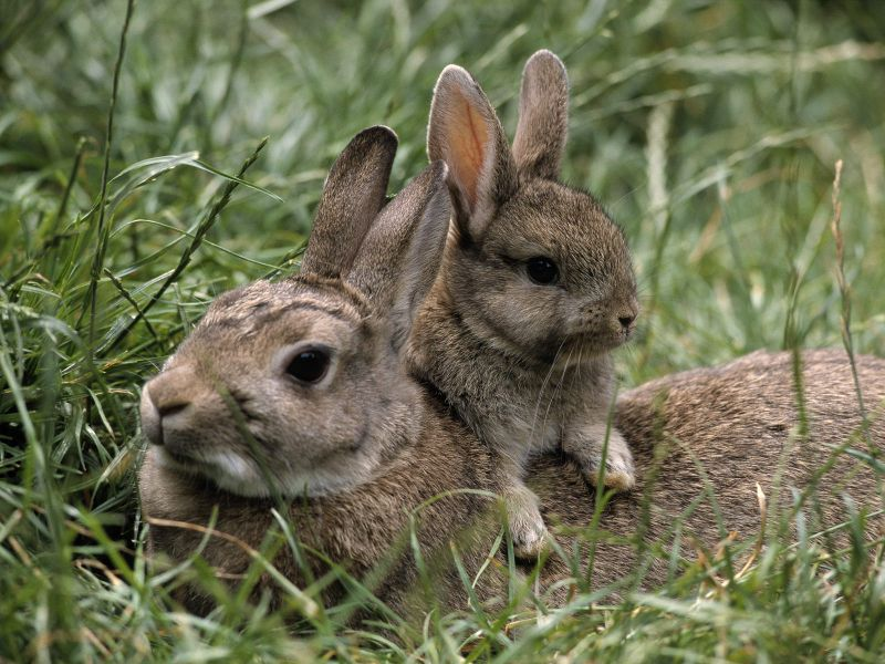 Mother-and-young-european-rabbits-pictures