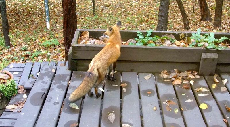 Foxes-1